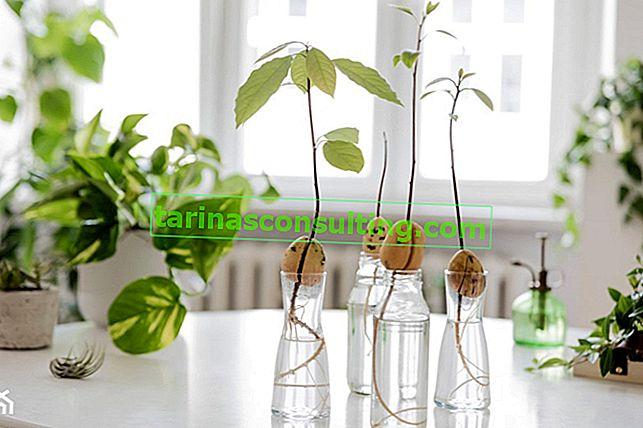 Come piantare un seme di avocado?