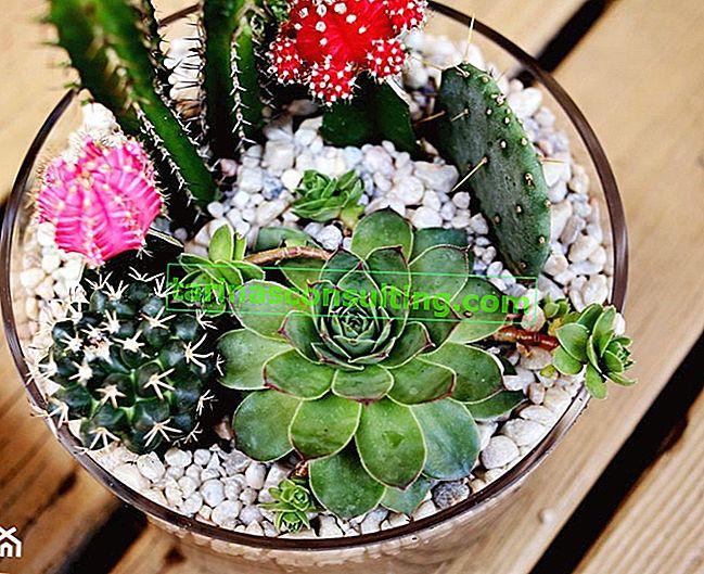 Come realizzare una decorazione di piante grasse in un piatto di vetro?