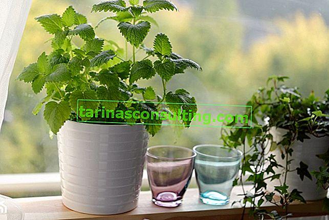 Menthe - grandir dans un pot à la maison