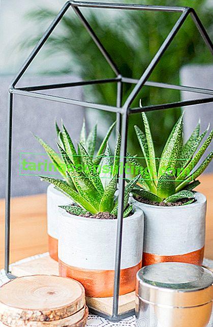 Aloe - varietà, coltivazione domestica e proprietà dell'aloe