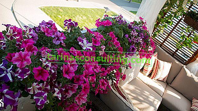 Surfinia (petunia appesa): requisiti e consigli per la cura