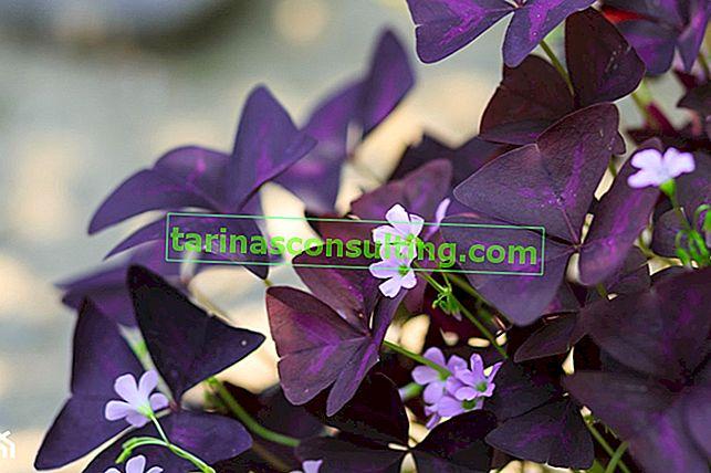 Oxalis triangolare in una pentola: come coltivare e prendersi cura?