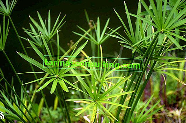 Papiro in vaso (Cibora) - una pianta facile da coltivare. Come mantenere il papiro?