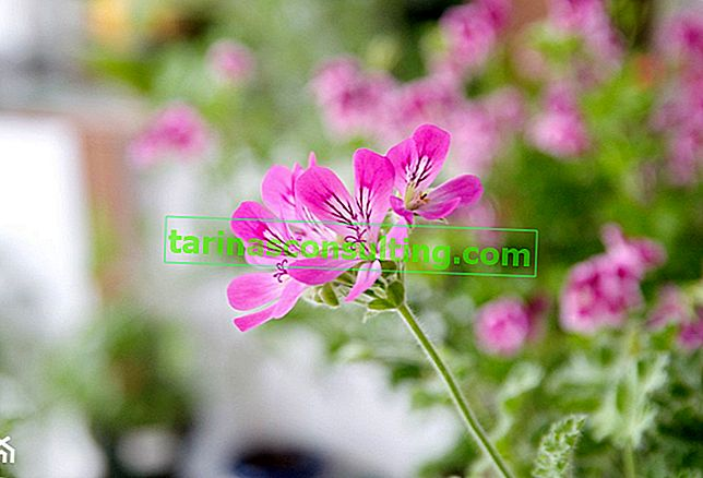 Anginka (fragrante pelargonium) - cura e coltivazione a casa