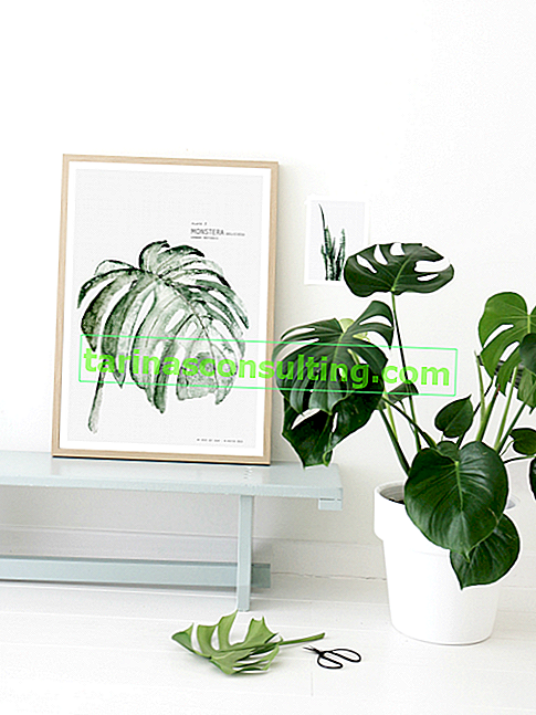 Monstera - soins, reproduction, repiquage
