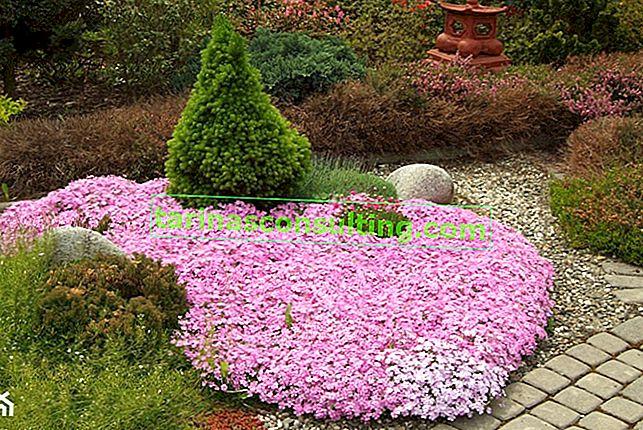 Plantes pour rocaille - espèces pour rocaille ensoleillée et ombragée