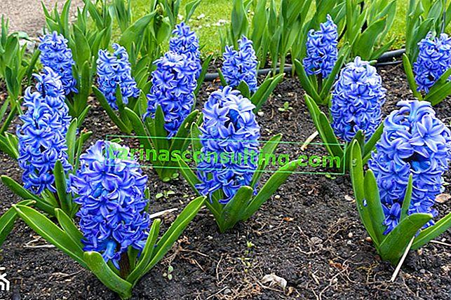 Fiori blu nel giardino - 24 delle specie più belle