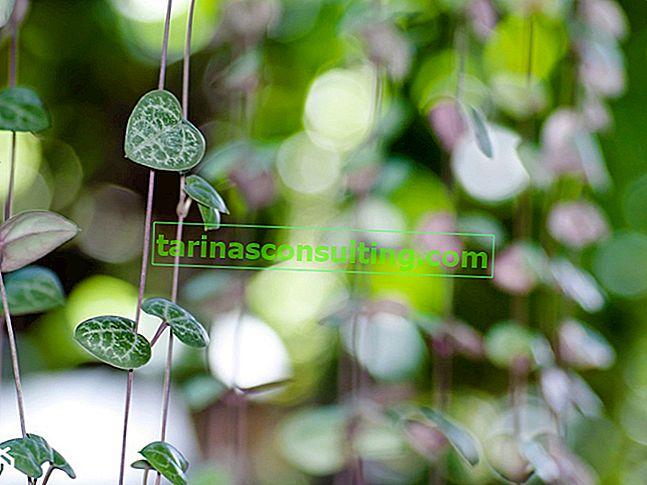 Ceropegia woodii (lanterna cinese) - tutto sulla coltivazione domestica
