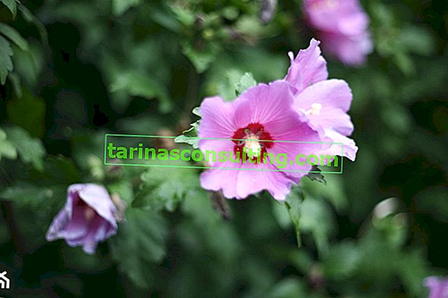 Hibiscus (Hibiscus) - varietà e cura in giardino