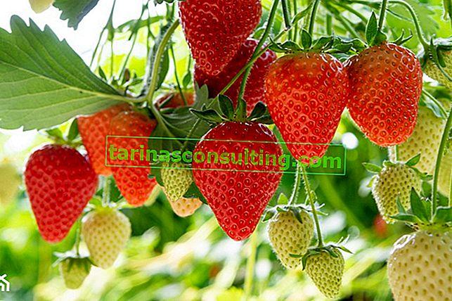 Planter des fraises: quand et comment planter des fraises dans le jardin et sur la parcelle