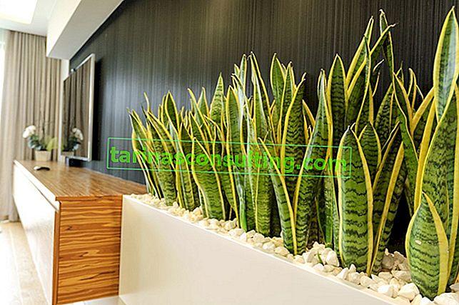Sansewieria (bobina) - proprietà, varietà e coltivazione