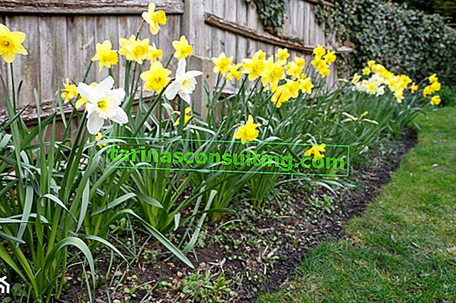 Fiori primaverili - 10 dei fiori da giardino più popolari che sbocciano in primavera