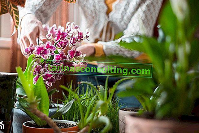 Arroser les orchidées avec de la bière et d'autres méthodes inhabituelles de soin des orchidées