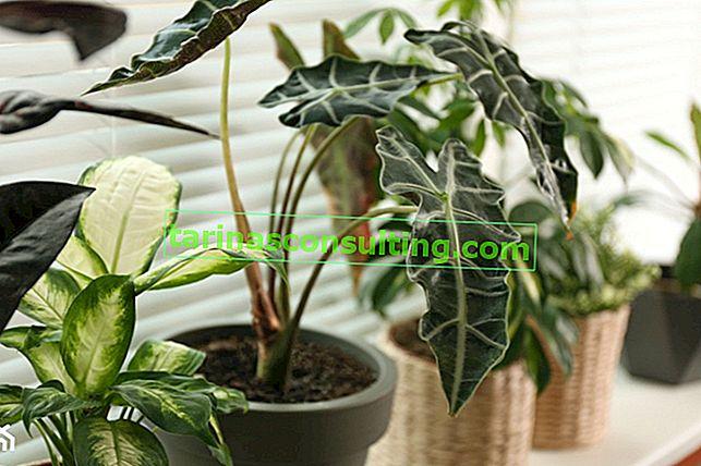 Alocasia amazonienne - une plante aux feuilles décoratives. Comment prendre soin de Alocasia amazonica?