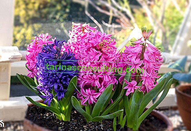 Jacinthe en pot - comment planter et entretenir une jacinthe en pot?