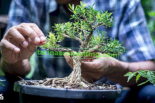 Albero dei bonsai - bonsai in crescita da zero