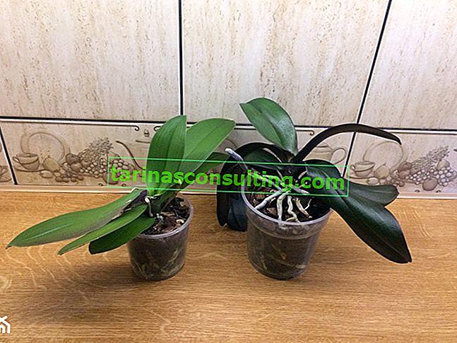 Malattie dell'orchidea: come riconoscere?