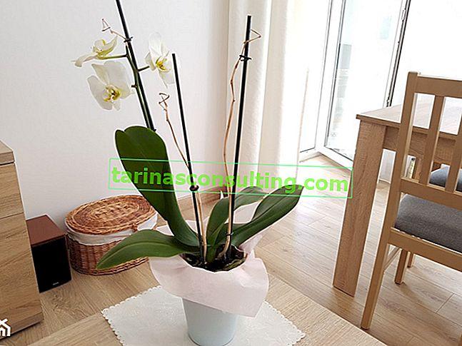 Orchidee: cura dopo la fioritura