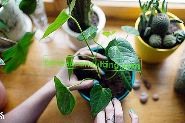 Anthurium: cura e coltivazione a casa