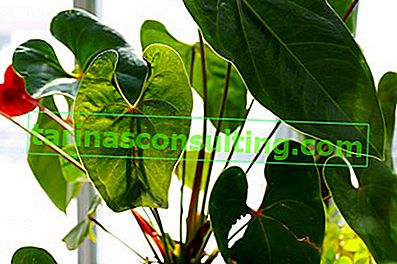 frunze de anthurium
