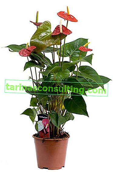 floarea anthurium
