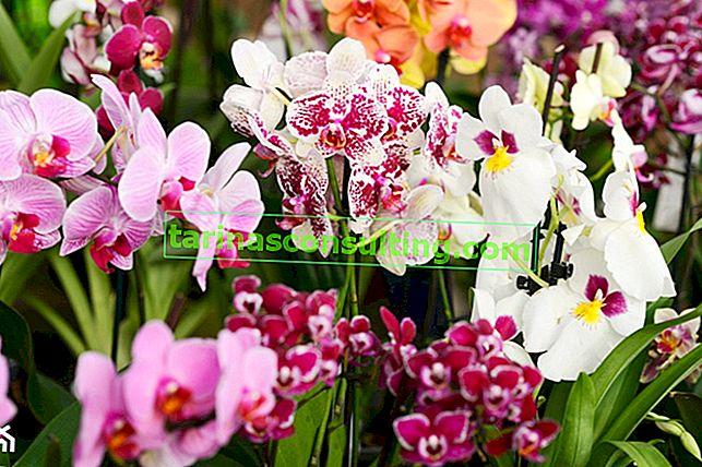Orchidee: varietà che vale la pena avere a casa tua