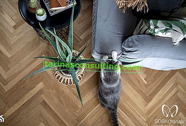 Piante velenose per un gatto: un elenco di fiori che danneggiano gli animali domestici