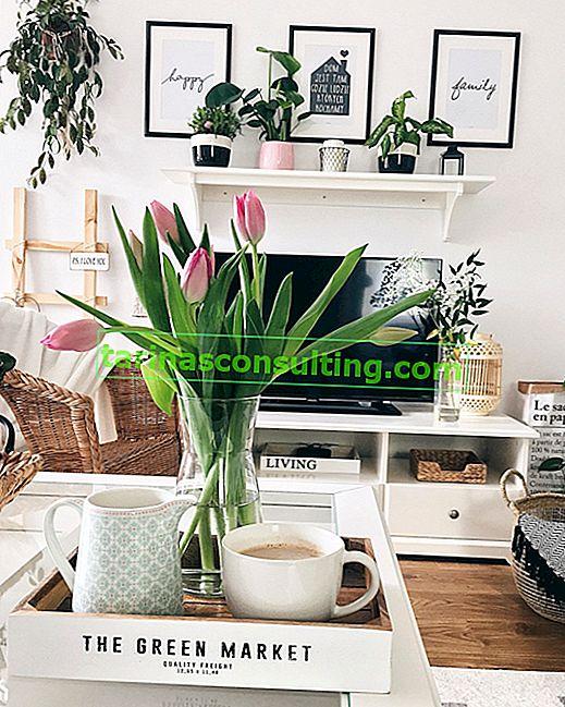 Come prolungare la vita dei tulipani in un vaso? 5 modi per tagliare i tulipani