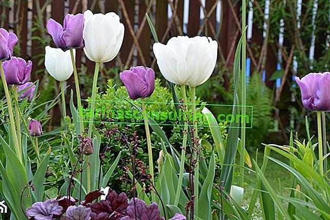 Come e quando piantare i tulipani? Piantare tulipani in autunno