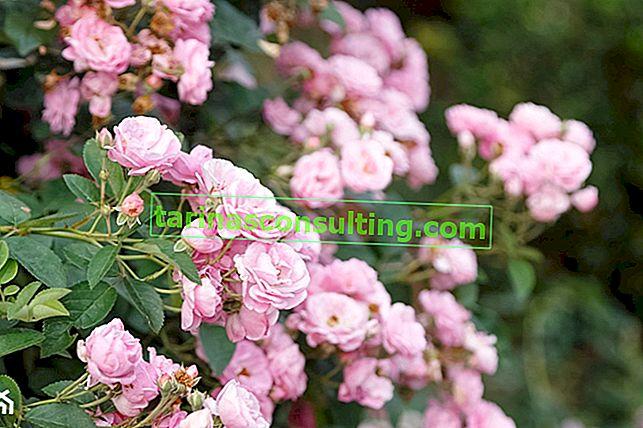 Rosen pflanzen: Wie und wann Rosen pflanzen?