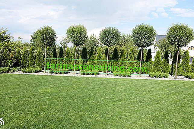 Thuja 'Emerald' - Pflanzen, Beschneiden, Pflege