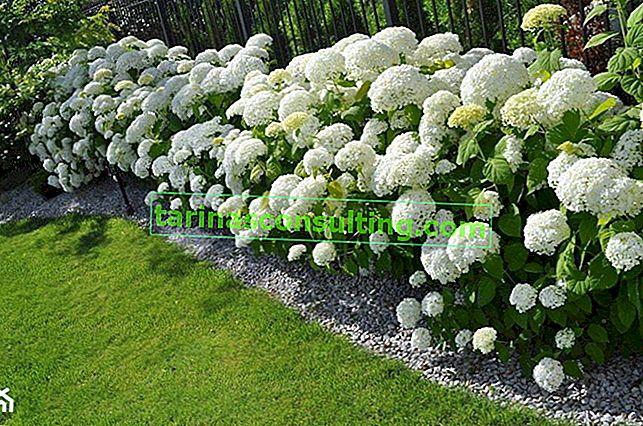 Gartenhortensie - Pflanzen und Pflege